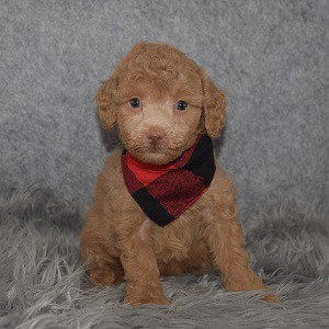Poodle Puppy For Sale – Magneto, Male – Deposit Only