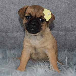 Makayla Jug puppy for sale in PA