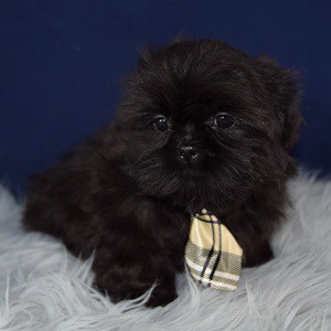 Midnight Shih Tzu puppy for sale in DC