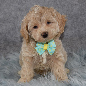 Monroe Cockapoo puppy for sale in WV