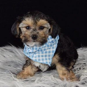Morkie puppy for sale in VA