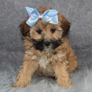Nala Teddypoo puppy for sale in RI