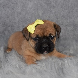 Jug Puppy For Sale – Onni, Female – Deposit Only
