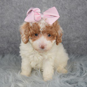 Poodle Puppy For Sale – Paisley, Female – Deposit Only
