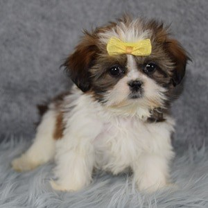 Piper Shih Tzu puppy for sale in VA