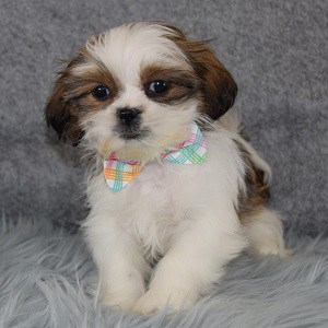 Pippen Shih Tzu puppy for sale in PA