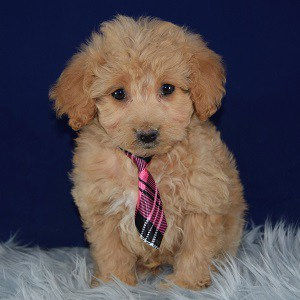 Pokey Pomapoo puppy for sale in MD