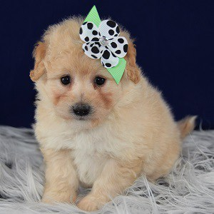 Pomapoo puppy for sale in MD