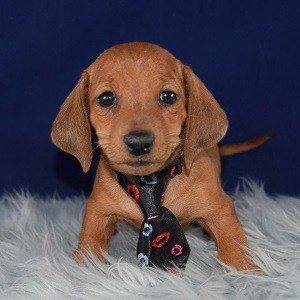 Pupper Dachshund puppy for sale in NY