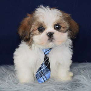 shih tzu breeders in virginia male shih tzu puppy for sale puppet puppies for sale in 4120
