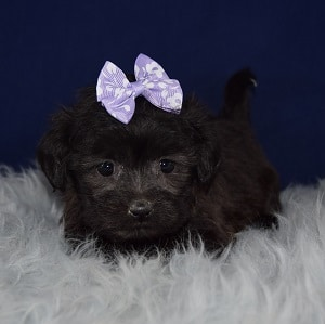Female Shichon Puppy For Sale Raja Puppies For Sale In Pa Ny Nj Ct