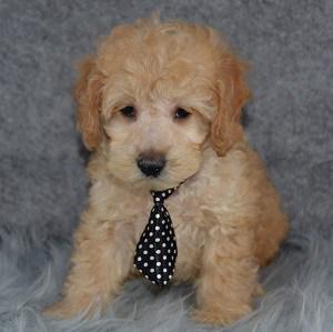 River Cockapoo puppy for sale in DE