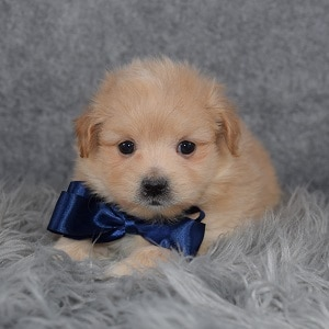 Pomapoo Puppy For Sale – Rocky, Male – Deposit Only