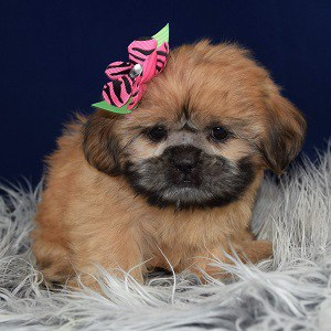 Shih Tzu puppy for sale in CT