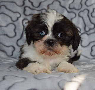 shih tzu breeders in md male shih tzu puppy for sale davey puppies for sale in 899