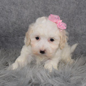 Maltipoo Puppy For Sale – Socks, Female – Deposit Only