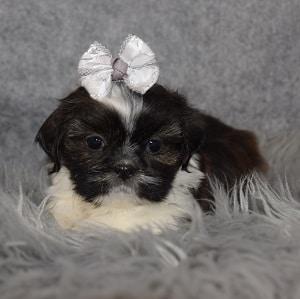 Shih Tzu Puppy For Sale – Sonya, Female – Deposit Only
