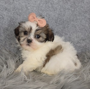 Shichon Puppy For Sale – Sophia, Female – Deposit Only