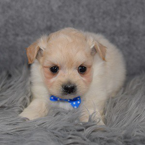 Pomapoo Puppy For Sale – Stony, Male – Deposit Only