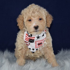 Sylvan Bichonpoo puppy for sale in DC