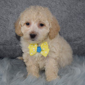 Sylver Bichonpoo puppy for sale in RI