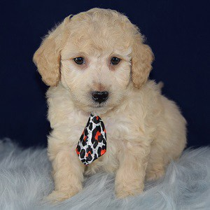 Sylvester Bichonpoo puppy for sale in CT