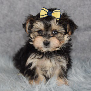Tallulah Morkie puppy for sale in CT