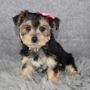 Female Morkie Puppy For Sale Tipsy   Puppies For Sale in West Virginia USA