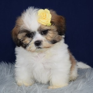 Shih Tzu Puppy For Sale – Toffee, Female – Deposit Only