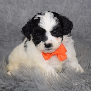 Shichon Puppy For Sale – Tucker, Male – Deposit Only