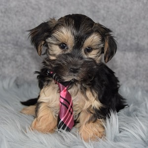 Tully Morkie puppy for sale in NJ