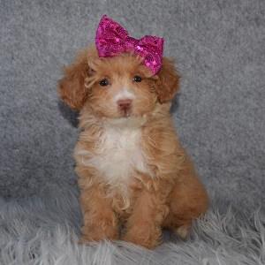 Bichonpoo Puppy For Sale – Vonnie, Female – Deposit Only
