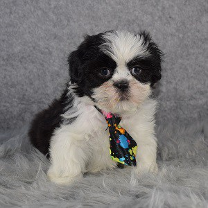 Shih Tzu Puppy For Sale – Waffle, Male – Deposit Only