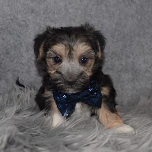 Morkie Puppy For Sale – Zane, Male – Deposit Only