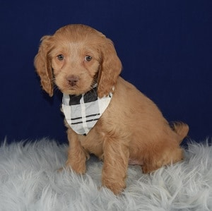 Cockapoo Puppy For Sale – Acorn, Male – Deposit Only