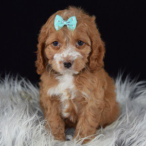 Annabelle Cockapoo puppy for sale in CT
