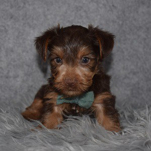 Yorkie Puppy For Sale – Brandt, Male – Deposit Only