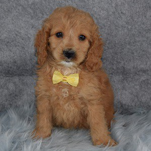 Canyon Cockapoo puppy for sale in PA