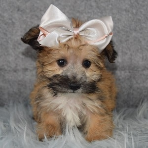 Cara Morkie puppy for sale in WV