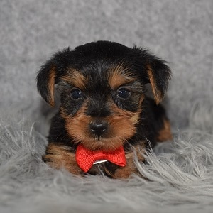 Yorkie Puppy For Sale – Cassius, Male – Deposit Only