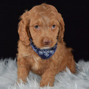 Chowder Cockapoo puppy for sale in PA