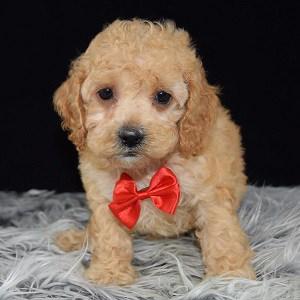 puppy adoptions