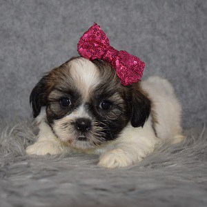 Shichon Puppy For Sale – Cocoa Puff, Female – Deposit Only
