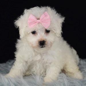 Fiona Bichon puppy for sale in WV
