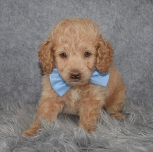 Cockapoo Puppy For Sale – Firework, Male – Deposit Only