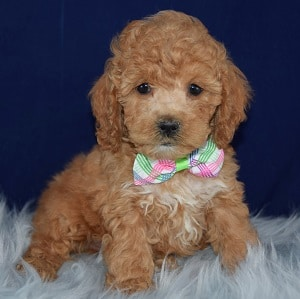 Forest Cockapoo puppy for sale in DC