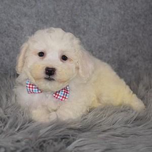 Bichon Puppy For Sale – Grady, Male – Deposit Only
