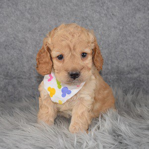 Cockapoo Puppy For Sale – Ice Cream, Female – Deposit Only