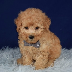 Jersey Cockapoo puppy for sale in DE