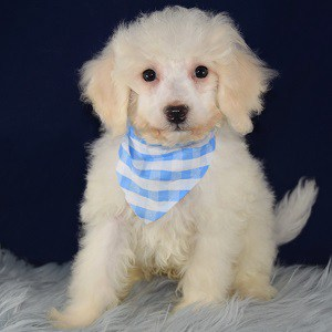 Jester Bichon puppy for sale in VA